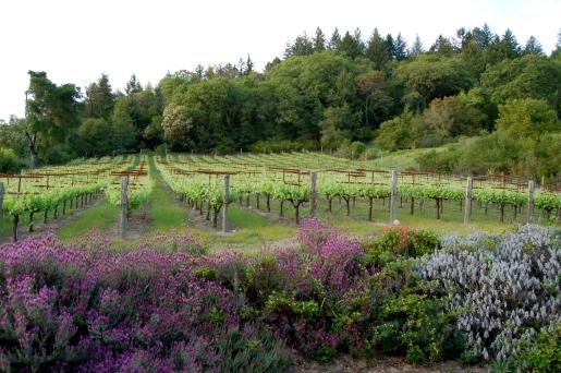 Vineyard in Late Spring