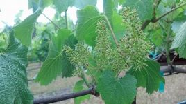 Chardonnay in Bloom