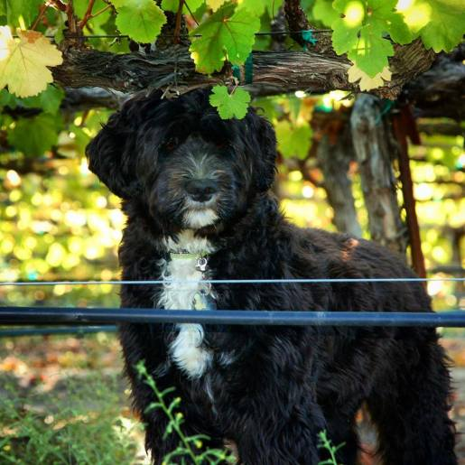 Pinot the Winery Dog