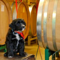 Winery Dog in Training