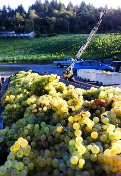 Pressing Chardonnay